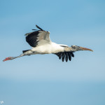 3382 Breeding Wood Stork (Mycteria americana), Florida