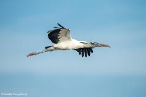 3382 Breeding Wood Stork (Mycteria americana), Florida