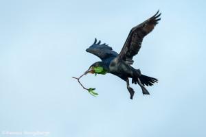 3383 Breeding Double-crested Cormorant (Phalacrocorax auritus), Florida
