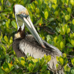 3384 Breeding Brown Pelican (Pelicanus occidentalis), Florida