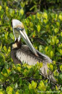 3384 Breeding Brown Pelican (Pelicanus occidentalis), Florida
