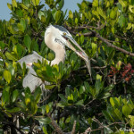 3385 Great Blue Heron (Ardea herodius), Florida