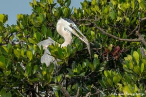 3385 Great Blue Heron (Ardea herodius), Florida
