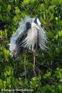 3386 Great Blue Heron (Ardea herodius), Florida