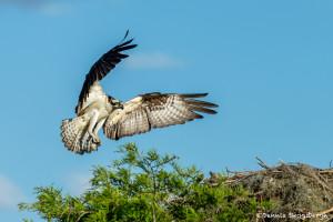 3391 Osprey (Pandion haliaetus), Florida