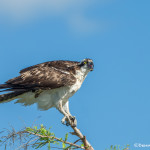 3392 Osprey (Pandion haliaetus), Florida