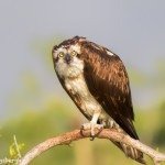 3394 Osprey (Pandion haliaetus), Florida