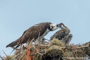 3395 Osprey (Pandion haliaetus), Florida