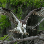 3400 Osprey (Pandion haliaetus), Florida