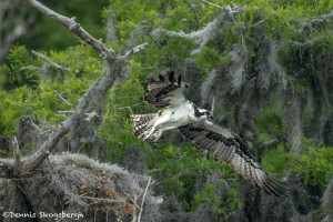 3401 Osprey (Pandion haliaetus), Florida