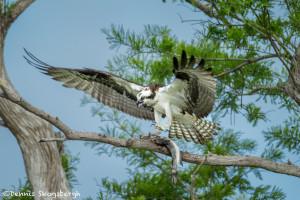 3402 Osprey (Pandion haliaetus), Florida