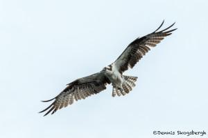 3405 Osprey (Pandion haliaetus), Florida