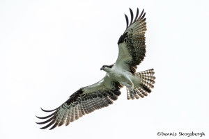 3406 Osprey (Pandion haliaetus), Florida