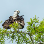 3407 Osprey (Pandion haliaetus), Florida
