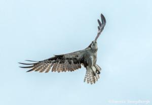3408 Osprey (Pandion haliaetus), Florida