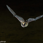 3412 Myotis Bat, Southern Arizona