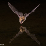 3413 Myotis Bat, Southern Arizona