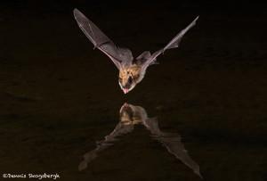 3413 Myotis Bat, Southern Arizona