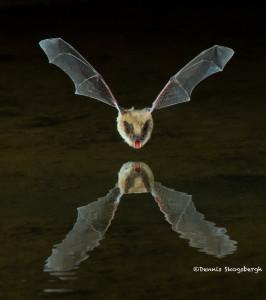 3415 Myotis Bat, Southern Arizona