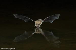 3416 Myotis Bat, Southern Arizona