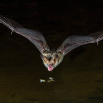 3417 Pallid Bat, Southern Arizona