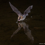 3418 Myotis Bat, Southern Arizona
