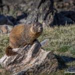 3454 Yellow-bellied Marmot (Marmota flaviventris), RMNP, Colorado