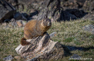 3454 Yellow-bellied Marmot (Marmota flaviventris), RMNP, Colorado