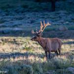 3455 North American Elk (Cervus canadensis), RMNP, Colorado