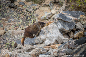 3457 Yellow-bellied Marmot (Marmota flaviventris), RMNP, Colorado