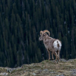 3458 Bighorn Sheep (Ovis canadensis), RMNP, Colorado