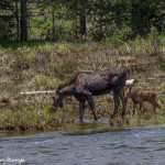 3462 Cow Moose and Calf, RMNP, Colorado