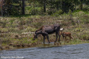 3462 Cow Moose and Calf, RMNP, Colorado