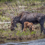 3463 Cow Moose and Calf, RMNP, Colorado