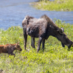 3465 Cow Moose with Calf, RMNP, Colorado
