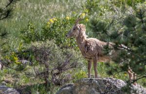 3467 Bighorn Ewe (Ovis canadensis), RMNP, Colorado