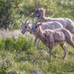 3468 Bighorn Ewes (Ovis canadensis), RMNP, Colorado
