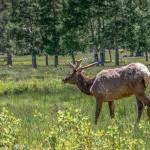 3469 North American Elk (Cervus canadensis), RMNP, Colorado