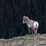 3471 Bighorn Sheep (Ovis canadensis), RMNP, Colorado