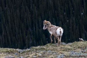 3471 Bighorn Sheep (Ovis canadensis), RMNP, Colorado