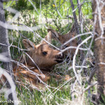 3474 Newly Born Moose Calves, RMNP, Colorado