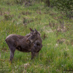 3475 Young Bull Moose, RMNP, Colorado