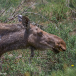 3478 Cow Moose, RMNP, Colorado