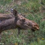 3478 Cow Moose, RMNP, Colorado