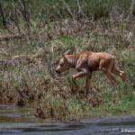 3479 Moose Calf, RMNP, Colorado