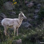 3480 Bighorn Ewe (Ovis canadensis), RMNP, Colorado