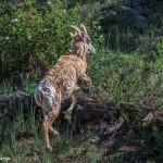 3481 Bighorn Ewe (Ovis canadensis), RMNP, Colorado