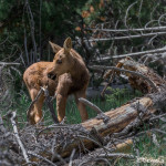 3482 Moose Calf, RMNP, Colorado