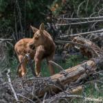 3482 Moose Calf, RMNP, Colorado
