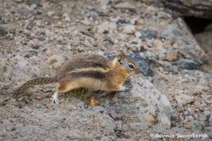 3484 Golden-mantled Ground Squirrel (Callospermophilus lateralis), RMNP, Colorado